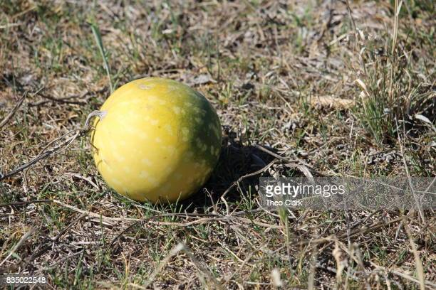 Camel melons - also known as Paddy Melons
