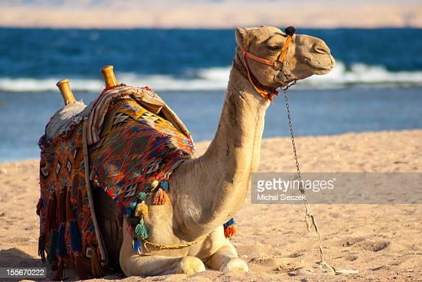 camel on beach - sharm el sheikh foto e immagini stock