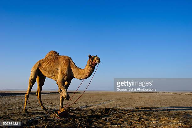 Camel on Rann of Kutch