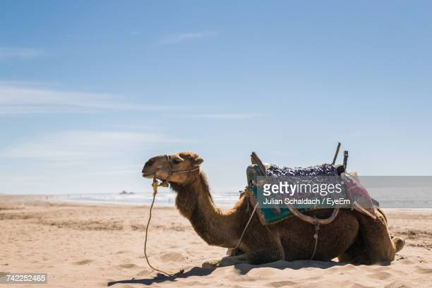 Camel On Sand At Beach Against Sky