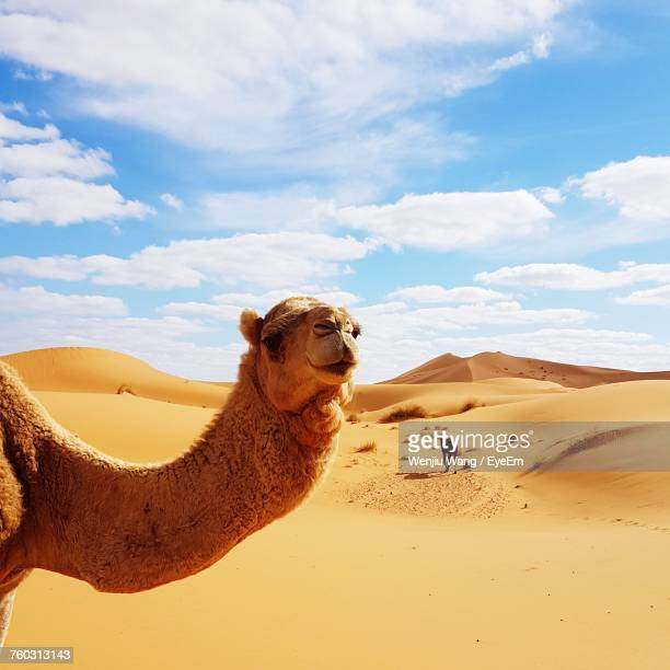 camel on sand dune in desert against cloudy sky - camel stock pictures, royalty-free photos & images