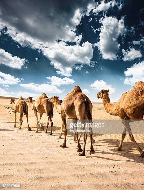 camel on the desert