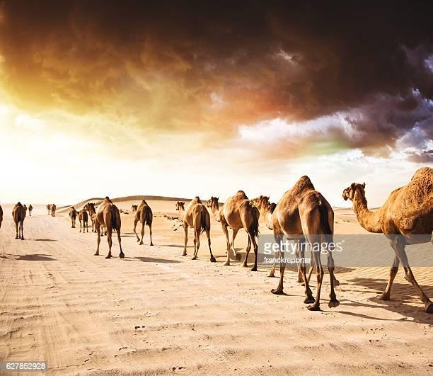 camel on the desert
