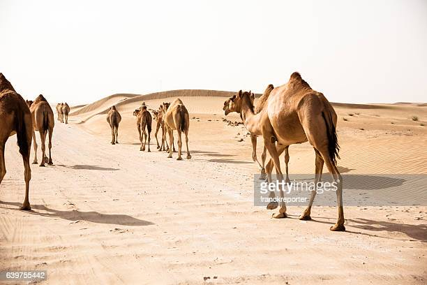 camel on the desert - qatar desert stock photos and pictures