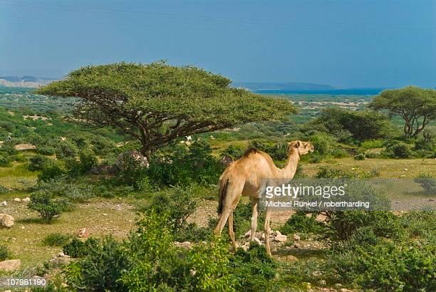 Camel on the outskirts of Djibouti, Republic of Djibouti, Africa