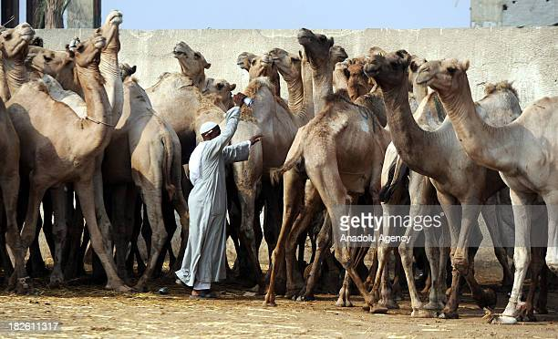 Camel owner sprays a number for identification purposes on a camel during an auction held in Egypt's one of the biggest animal bazaar on September 27...