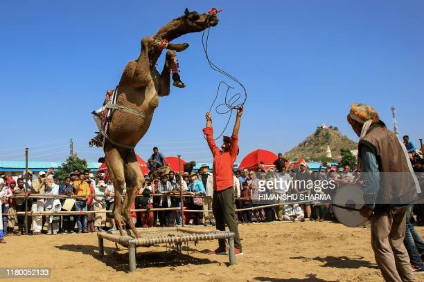 TOPSHOT A camel performs during a dance competition held during the Pushkar Camel Fair in Pushkar in the western state of Rajasthan on November 5...