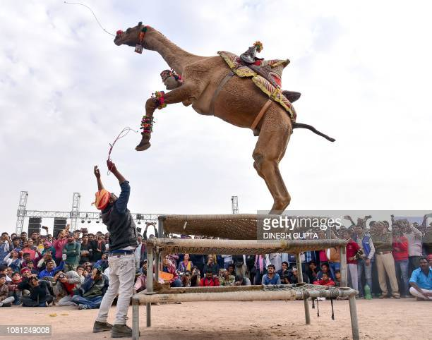A camel performs during the first day of the Bikaner Camel Festival in Bikaner on January 12 2019