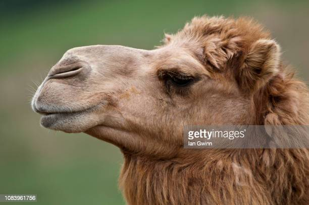 camel - ian gwinn stock pictures, royalty-free photos & images