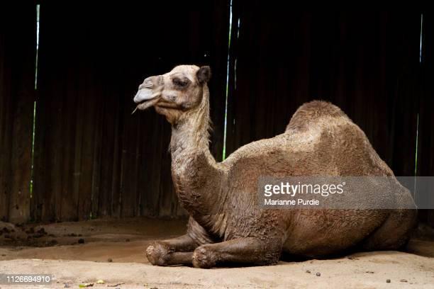 camel - キャメル色 ストックフォトと画像