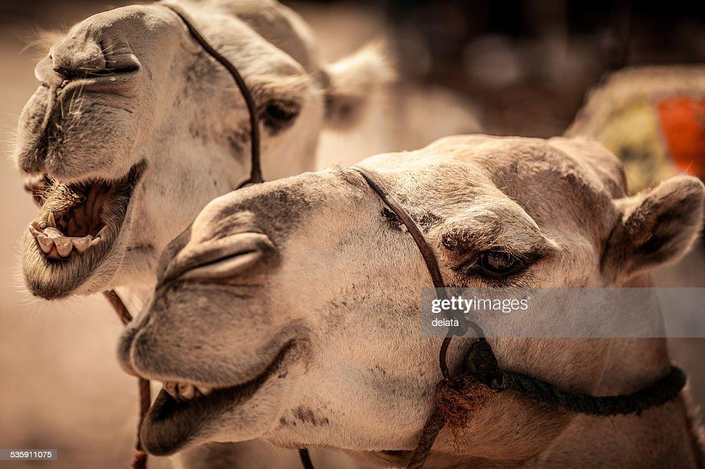 Camel : Stock Photo