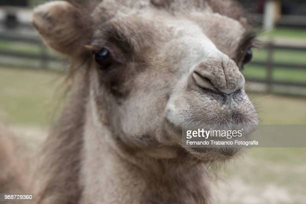 camel - ugly horses stock photos and pictures
