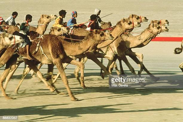 camel race - camel active stock-fotos und bilder