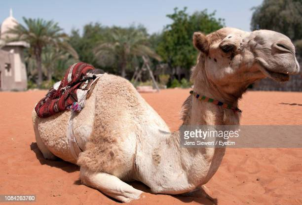 camel relaxing on desert - jens siewert stock-fotos und bilder