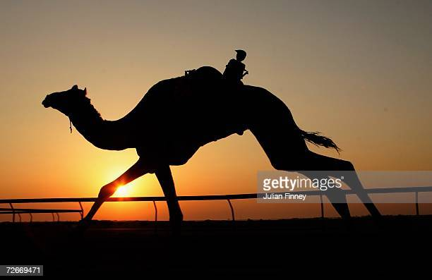 A camel riden by a remote controlled robot in action during an early morning camel race at the Al Shahaniya camel race track on November 29 2006 in...
