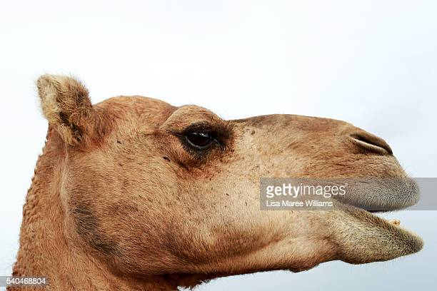 A camel roams in the pastures of QCamel dairy on April 4 2016 on the Sunshine Coast Australia QCamel founded by Lauren Brisbane and her family in...
