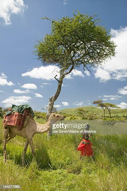 Camel safari with Masai warrior leading camel past Acacia tree and through green grasslands of Lewa Wildlife Conservancy North Kenya Africa