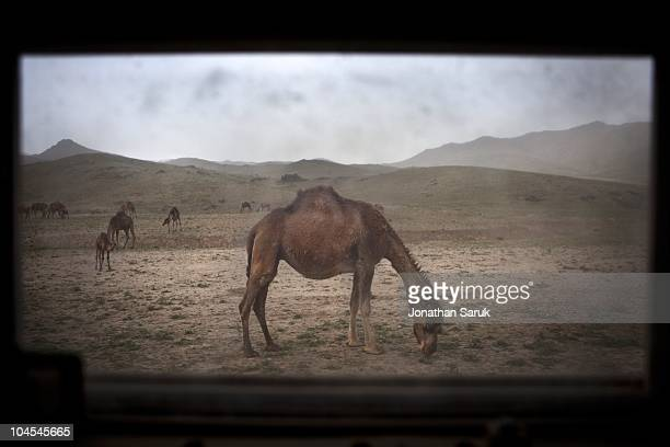 A camel seen from the window of a Humvee during a patrol by US soldiers from the 3rd Brigade 10th Mountain Division May 12 2009 in Jaghatu District...