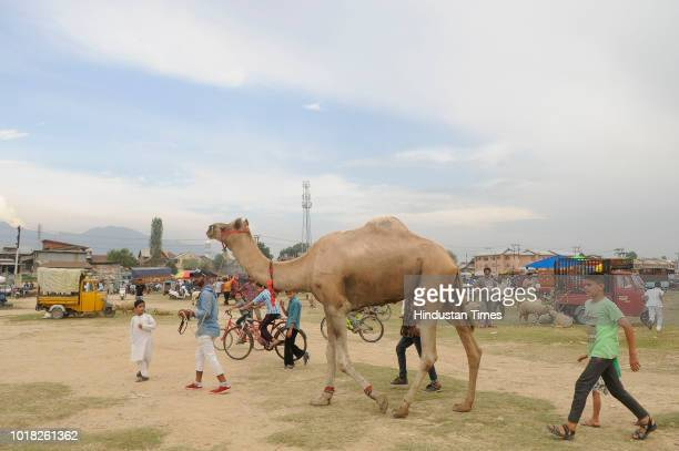 A camel seller looks for buyers at a livestock market Eidgah area ahead of the Muslim Festival of Eid alAdha on August 17 2018 in Srinagar India