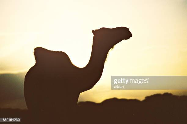 Camel Silhouette at sunset