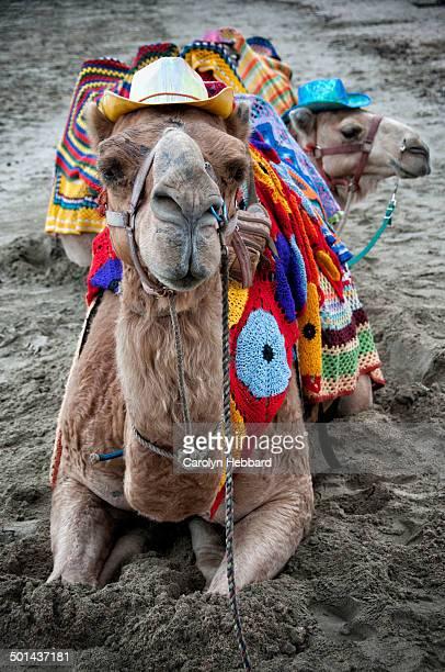 Camel Sitting on Sand