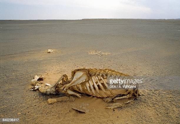 A camel skeleton along the Wadi HalfaDaraw caravan route between Sudan and Egypt Sahara Desert Egypt