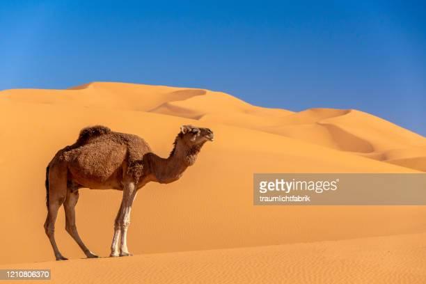 camel sky and sand - ラクダ ストックフォトと画像