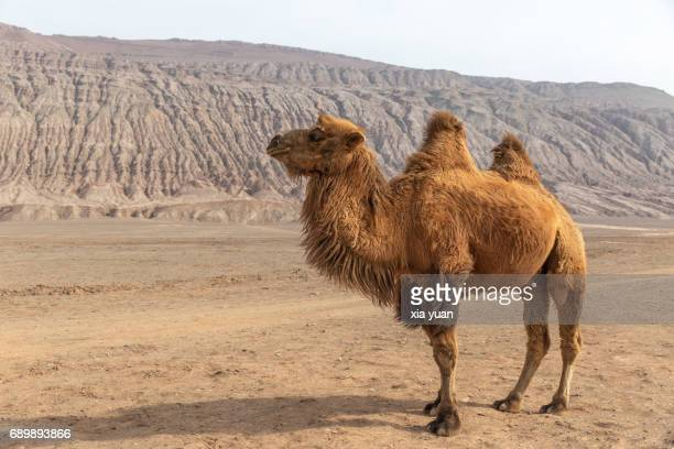 camel standing against the flaming mountains,turpan,china. - camello fotografías e imágenes de stock