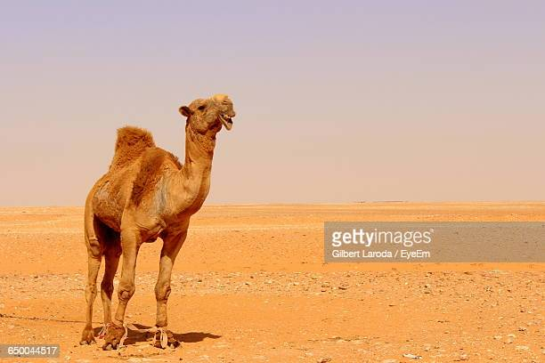 camel standing on field against clear sky in desert - one animal stock pictures, royalty-free photos & images