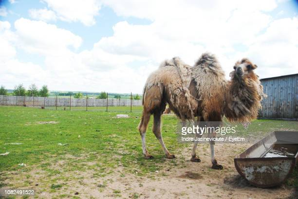 camel standing on field against sky - herbivorous stock pictures, royalty-free photos & images