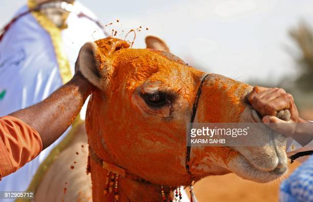 A camel that won a beauty context has its face covered with saffron during the Sheikh Sultan Bin Zayed alNahyan camel festival at the Shweihan...