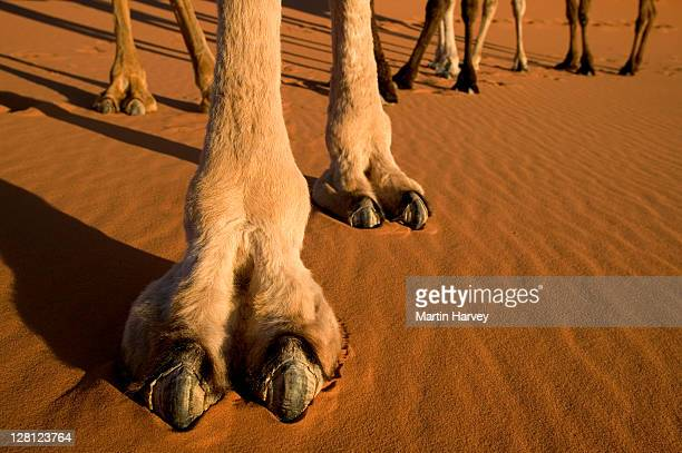 Camel (Camelus dromedaries) The one-hump dromedary also known as the Arabian camel, Sahara desert, Morocco, North Africa