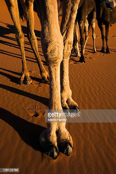 camel (camelus dromedaries) the one-hump dromedary also known as the arabian camel, sahara desert, morocco, north africa - herbivorous stock pictures, royalty-free photos & images