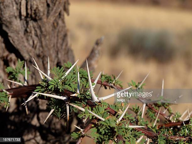 camelo thorn árvore, namíbia - espinho característica da planta - fotografias e filmes do acervo