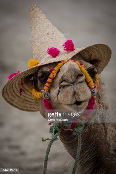 A camel used for tourist activities is seen on the beach on June 30 2016 in Djerba Tunisia Before the 2011 revolution tourism in Tunisia accounted...