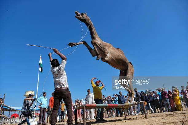 Camel vendor perform with his camels during the Pushkar Fair Rajasthan India Nov 05 2019 Thousands of livestock traders from the region come to the...