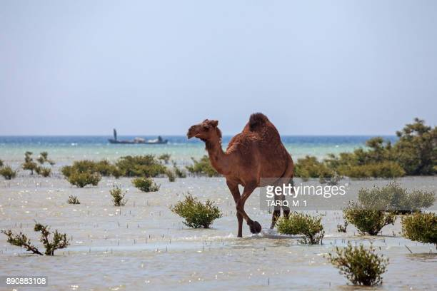 Camel walking in the mangroves, Saudi Arabia