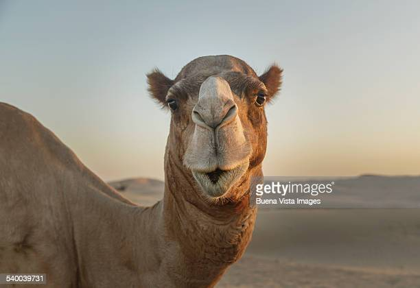 camel watching into the camera - camel stock pictures, royalty-free photos & images