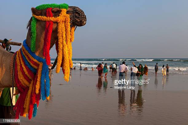 CONTENT] Camel wearing colorful garlands and tourists on the beach for Indian holidays in Puri Orissa India