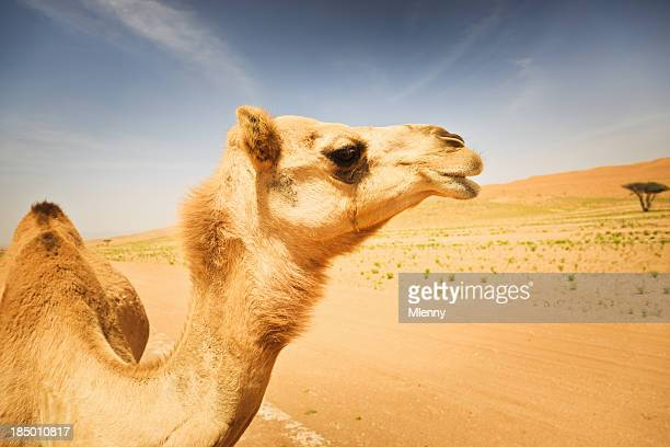 Camel Wildlife in the Desert Animal Portrait