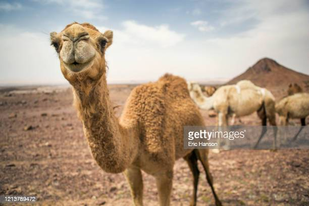 camel with funny face in middle east - animal head stock pictures, royalty-free photos & images