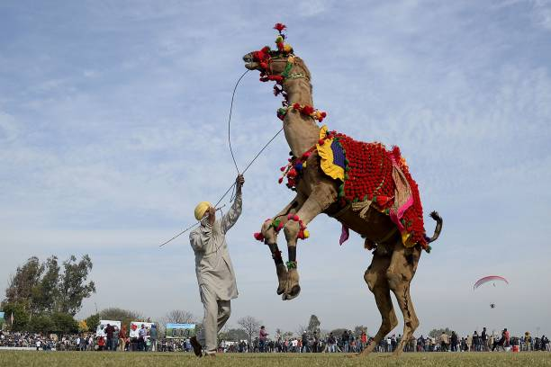 TOPSHOT A camel with his owner is seen dancing during the last day of Kila Raipur Games known as the rural Olympics at Kila Raipur on the outskirts...