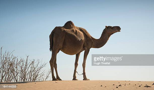 camel with tied front legs - hugh threlfall stock pictures, royalty-free photos & images