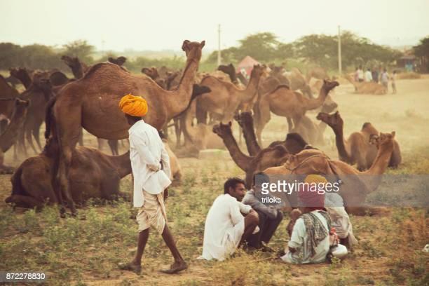 cameleers ontspannen met kamelen op pushkar - gedomesticeerde dieren stockfoto's en -beelden