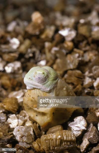 Cameleon calyptratus