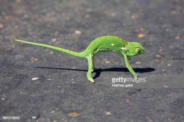 cameleon kruger national park - squamata stock photos and pictures