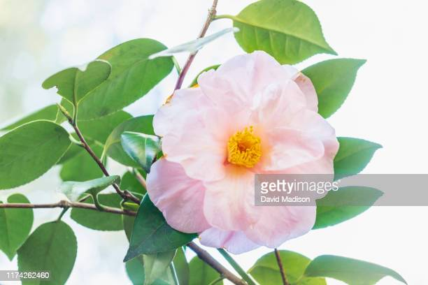 camellia bloom - madison grace stock pictures, royalty-free photos & images