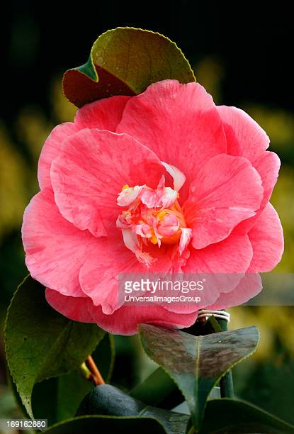 Camellia Flower Perennial Evergreen Shrub
