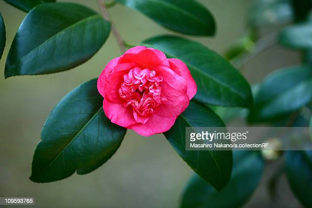 camellia flower - chofu stock pictures, royalty-free photos & images