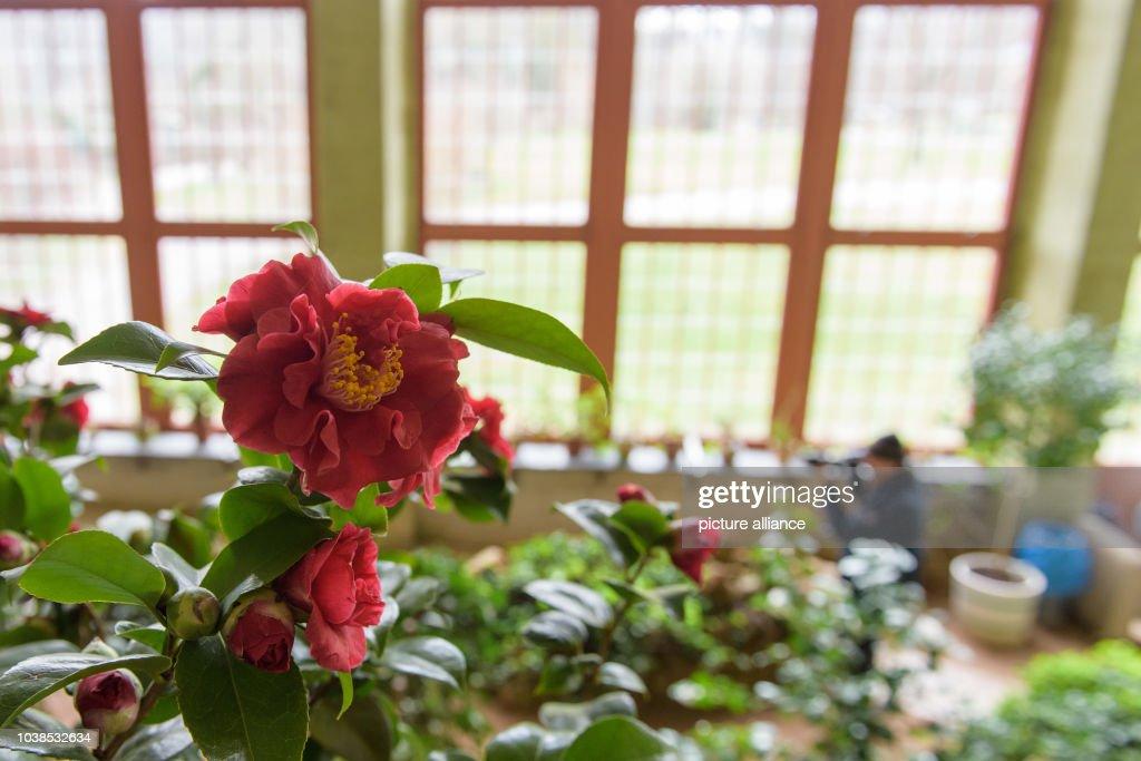Цветы камелия ростов-на-дону